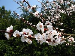 Obelis pavasarį