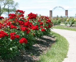 rožės sodas