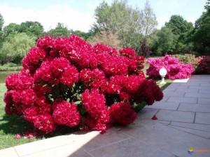 Rododendrai-1