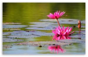 Vandens lelija