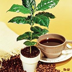 Kavamedžio sodinimas, auginimas, priežiūra.